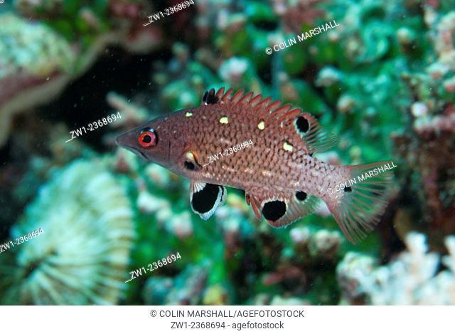 Juvenile Diana's Hogfish (Bodianus diana), Uhak Reef dive site, Uhak Village, Wetar Island, near Alor, Indonesia