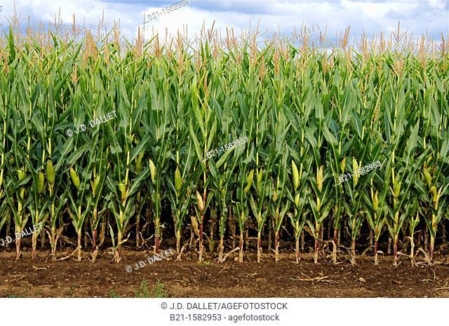 Corn field near Beaupouyet, Dordogne, Aquitaine, France