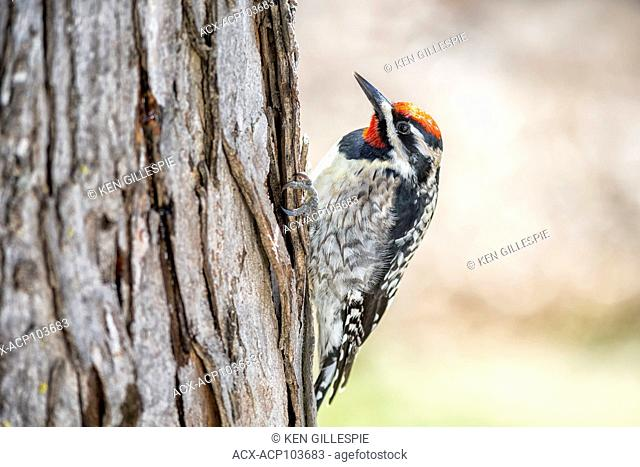 Yellow-bellied Sapsucker, Sphyrapicus varius, male, a mid-sized woodpecker, Beaudry Provincial Park, Manitoba, Canada
