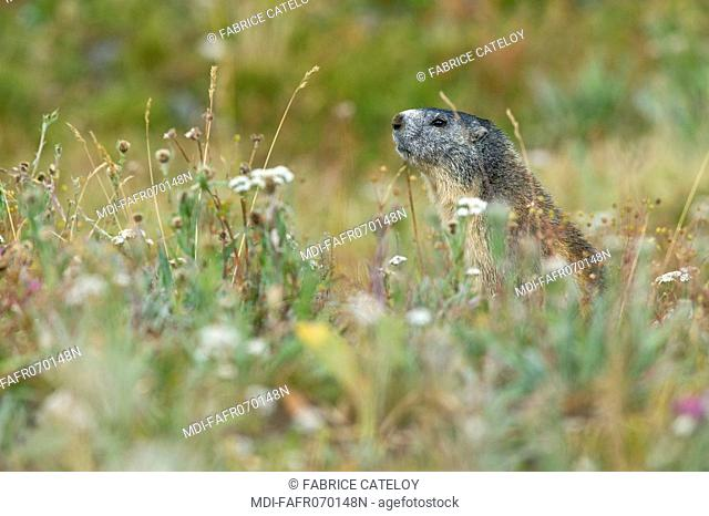 Young marmot seated in the grass in the natural regional park of Queyras