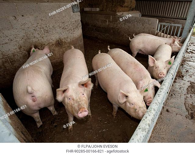 Pig farming, gilts in kennel house, England