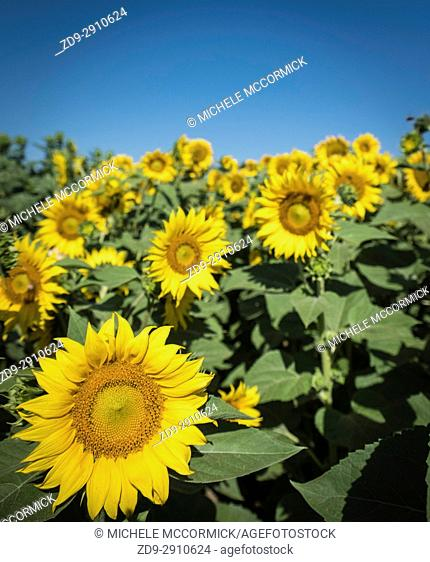 California fields lush with sunflowers in the summer