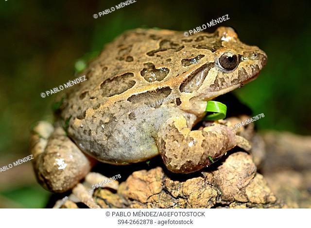 "Iberian painted frog """"Discoglossus galganoi"""" in West park of Madrid, Spain"