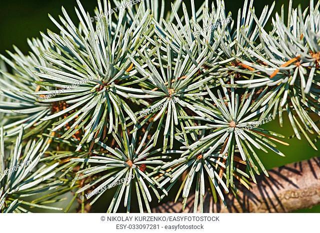 Atlas cedar needles (Cedrus atlantica). Another scientific name is Cedrus libani atlantica