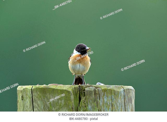 African stonechat (Saxicola torquata), male, sitting on fence post with insect in its beak, Lower Rhine region, North Rhine-Westphalia, Germany