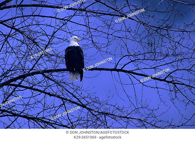 Bald Eagle (Haliaeetus leucocephalus) Perched in tree overlooking Cheakamus River, Brackendale, BC, Canada