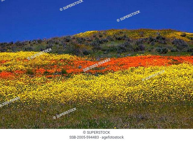 Coreopsis and poppies in field, Los Padres National Forest, California, USA