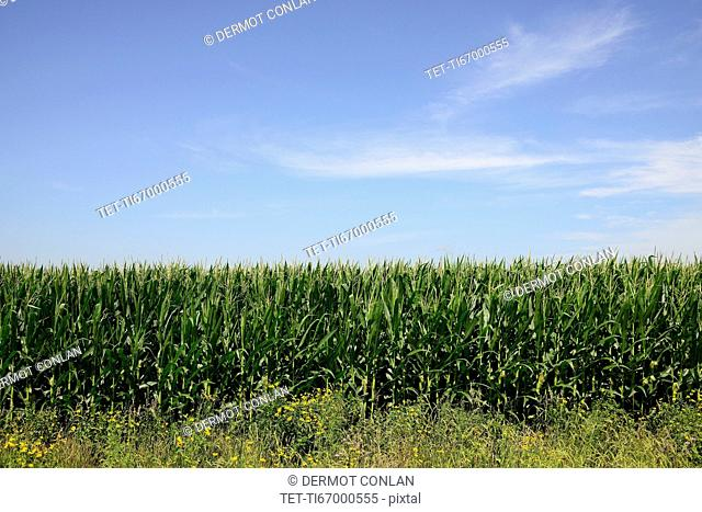 USA, Iowa, Cornfield along Route 30