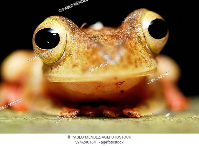 Harlequin Tree Frog (Rhacophorus pardalis) in Kubah national park, Sarawak, Malaysia, Borneo