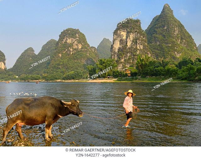Chinese woman leading an Asian Water Buffalo cow into the Li river at Yangshuo with karst peaks