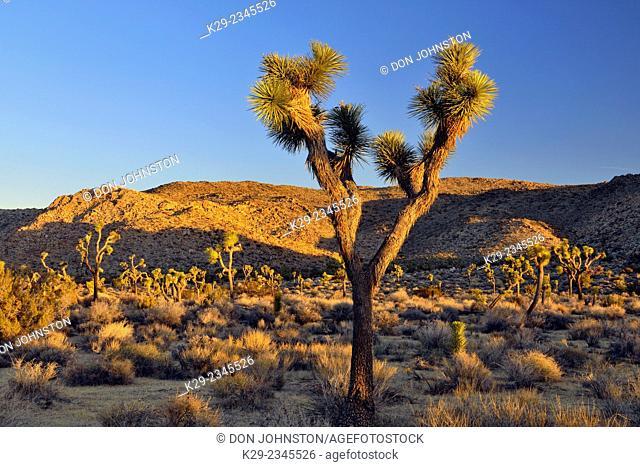 Mojave desert landscape at dawn near Ryans Mountain, Joshua Tree National Park, California, USA