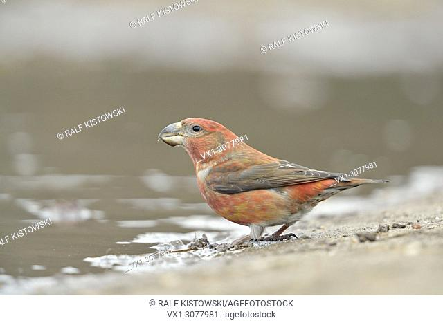 Parrot Crossbill ( Loxia pytyopsittacus ), red male, drinking at a natural puddle, wildlife, Europe. .