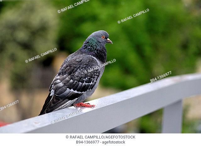Pigeon. Fam. Columbidae. Barcelona. Catalonia. Spain