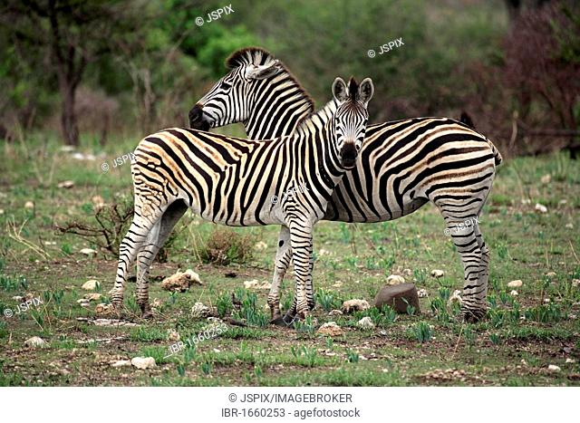 Plains Zebra, Burchell's Zebra (Equus quagga), female adult with young, Kruger National Park, South Africa, Africa
