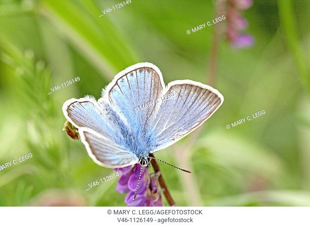 Amanda's Blue, Polyommatus amandus hovering on prunella grandiflora, Self-heal  Male  From above  View back wings with the startling blue topaz wings  Self-heal