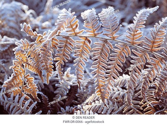 Pteridium aquilinum, Fern - Bracken