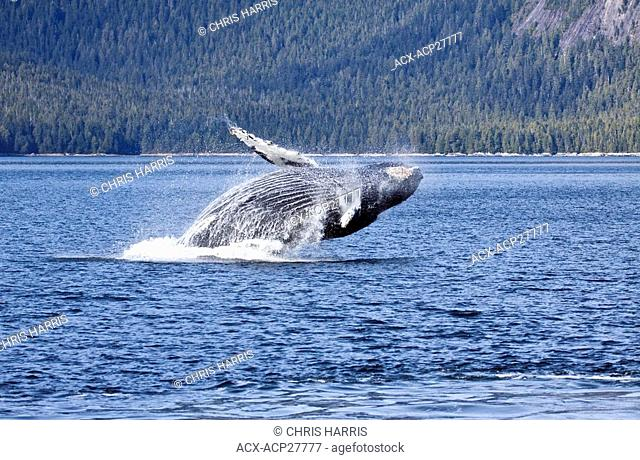 A Humpback Whale breaching on the British Columbia Central Coast in Canada