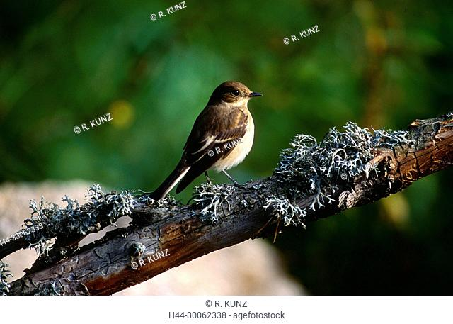 Eurpean Pied Flycatcher, Fidecula hypoleuca, Muscicapidae, Flycatcher, eclipse plumage, bird, animal, Campello, Canton of Ticino, Switzerland