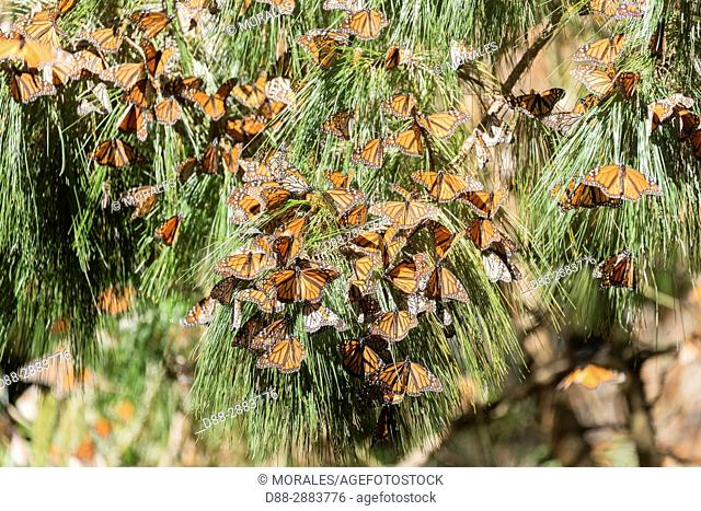 Central America, Mexico, State of Michoacan, Angangueo, Reserve of the Biosfera Monarca Sierra Chincua, monarch butterfly (Danaus plexippus)