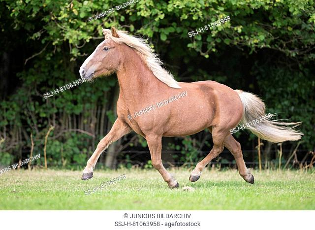 Icelandic Horse. Chestnut gelding trotting on a pasture. Germany
