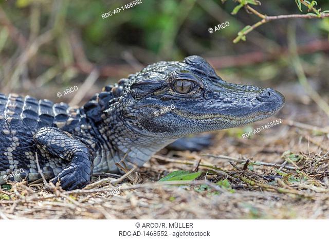 Alligator juv, USA, Florida, Everglades, Alligator mississippiensis