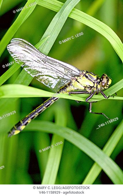Newly emerged male Common Clubtail, Gomphus vulgatissimus clings to marsh grass in dense undergrowth  Body has colored with distinctive yellow and black...