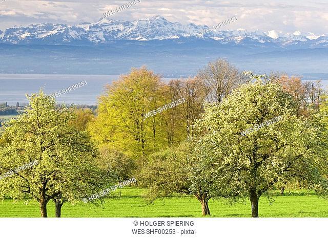 Germany, Baden-Württemberg, Markdorf, Fruit trees abloom