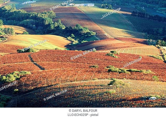 Rolling Vineyard Scenic  Stellenbosch, Boland, Western Cape Province, South Africa