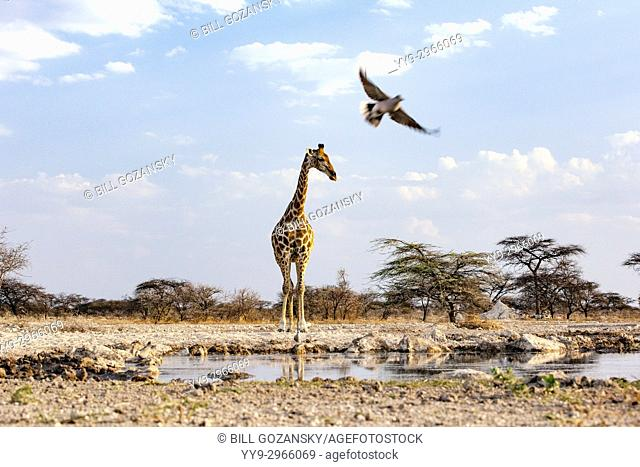 Giraffe with a Cape Turtle Dove in flight at Onkolo Hide, Onguma Game Reserve, Namibia, Africa