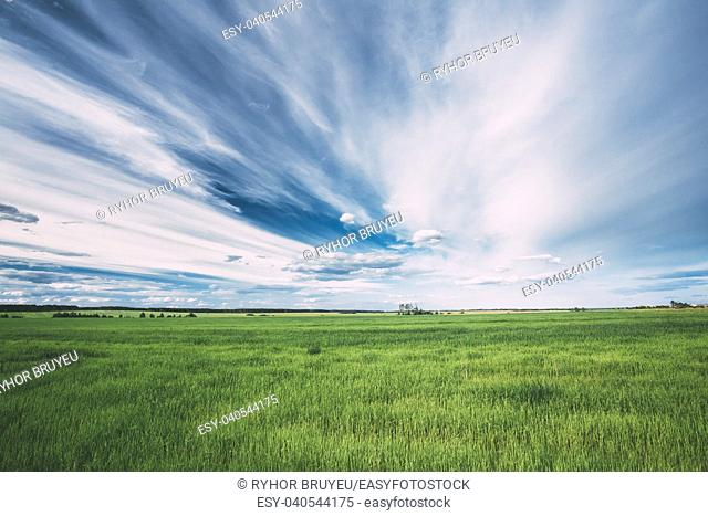 Gomel, Belarus. Green Field In Spring Season. Agricultural Rural Landscape At Evening. Copy Space On Sunny Blue Sky Background