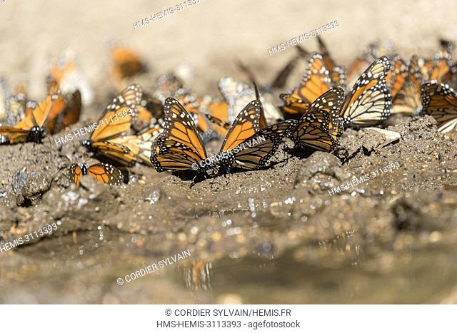Mexico, State of Michoacan, Angangueo, Monarch Butterfly Biosphere Reserve El Rosario, Monarch (Danaus plexippus) butterflies gathering to drink water and take...