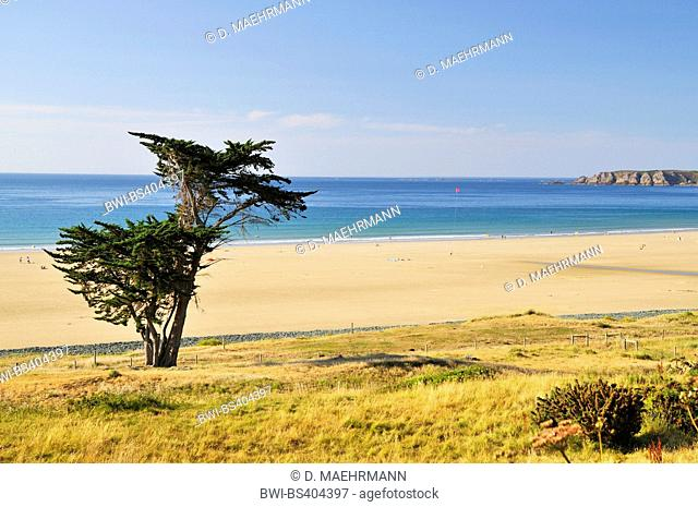 Italian cypress (Cupressus sempervirens), single bush on the beach in Brittany, France, Brittany, DÚpartement C¶tes-dÆArmor, Erquy