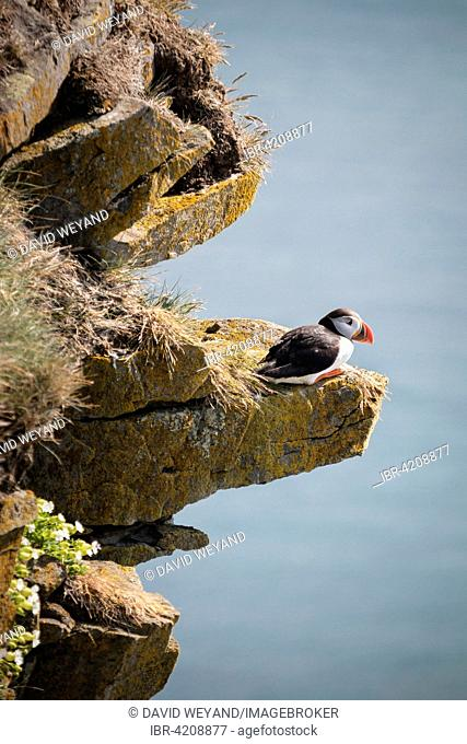 Atlantic puffin (Fratercula arctica) sitting on a ledge, cliff, Látrabjarg, Westfjords, Iceland