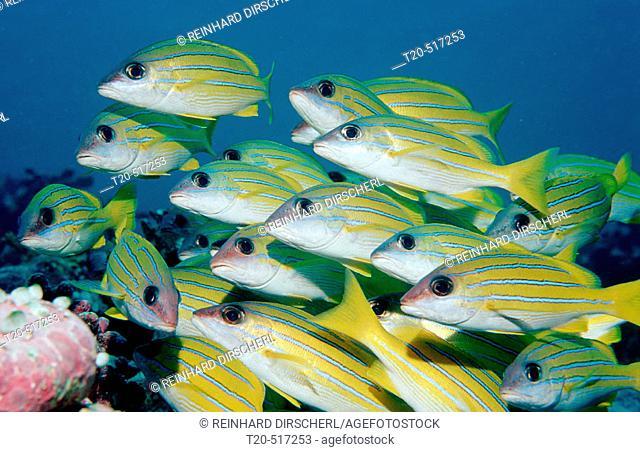 Fivelined snapper, Lutjanus quinquelineatus, Maldives Island, Indian Ocean, Ari Atol, Maayafushi