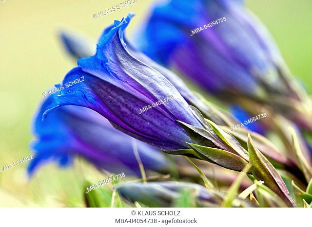 Gentian blossom, close-up