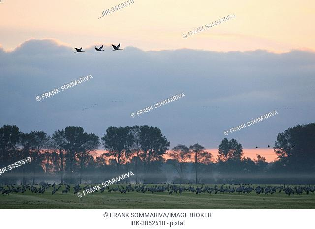 Common Cranes (Grus grus), on a field foraging in the early morning, Mecklenburg-Western Pomerania, Germany