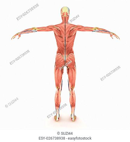 Realistic, detailed and anatomically accurate Female eathers, brain, muscular, nervous, skeletal, Female-DigestiveSystem, Female-LymphaticSystem