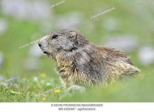 Alpine marmot (Marmota marmota) on alpine meadow, Dachstein Salzkammergut, Austria