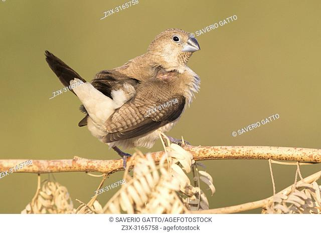 African Silverbill (Euodice cantans), single individual perched on a branch