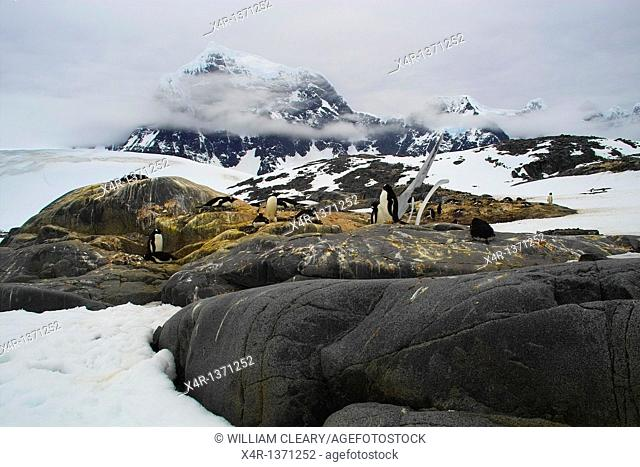 Gentoo Penguins nesting near Port Lockroy Station, Antarctica