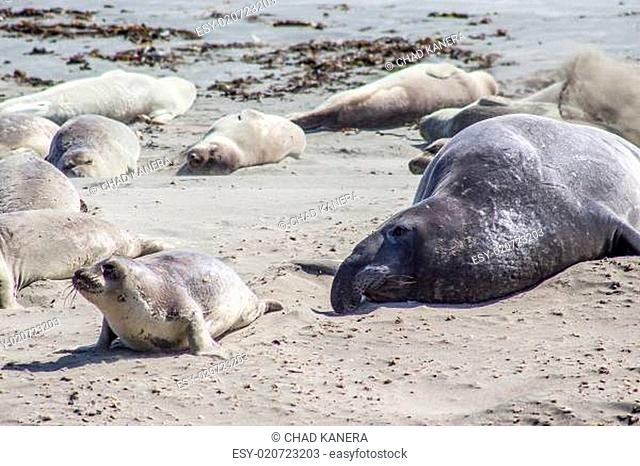 Elephant Seal with Pup