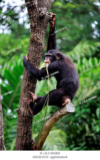 Chimpanzee, (Pan troglodytes troglodytes), subadult on tree feeding, Africa