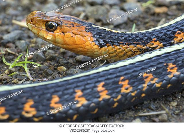 Garter snake along Rail Trail, Ankeny National Wildlife Refuge, Oregon