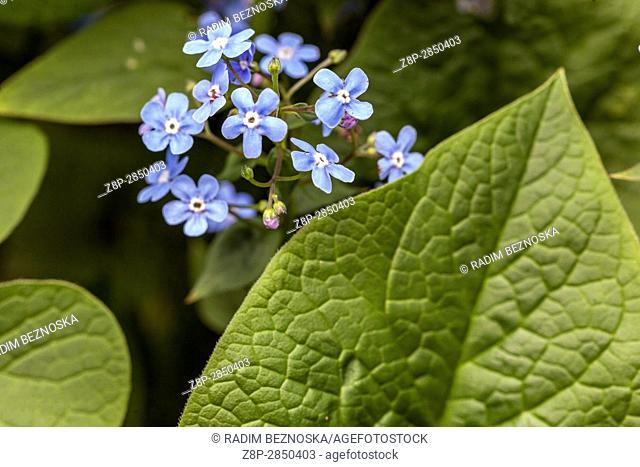 Siberian bugloss Brunnera sibirica, flowers and leaves
