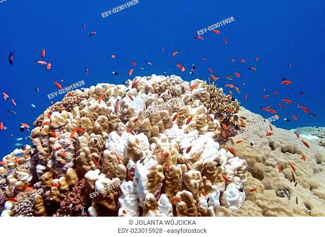 coral reef with exotic fishes anthias and porites coral in tropical sea, underwater