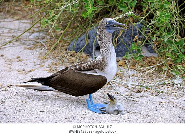 blue-footed booby (Sula nebouxii), with chick, Ecuador, Galapagos Islands, Lobos