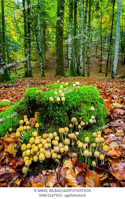 Collybia confluens mushrooms. Irati Forest. Navarre, Spain. Europe