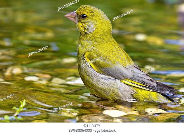 western greenfinch (Carduelis chloris), male bathing, Germany