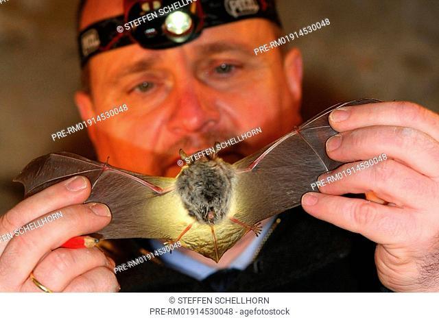 Scientist examing Natterer's bat, Myotis nattereri
