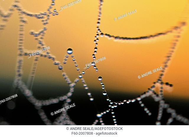 Dew drops in a spider web during sunrise, Manapouri, South Island, New Zealand